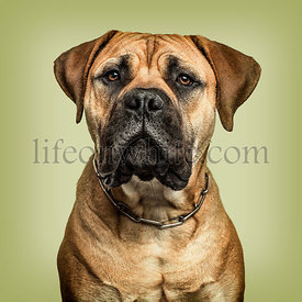 Close-up of Bullmastiff looking to camera against green background