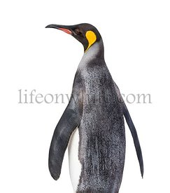 Back view of a King penguin looking up isolated