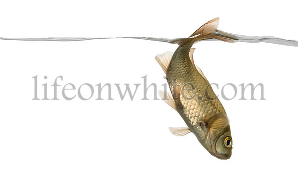 Eurasian minnow swimming down, under water line, Phoxinus phoxinus, isolated on white