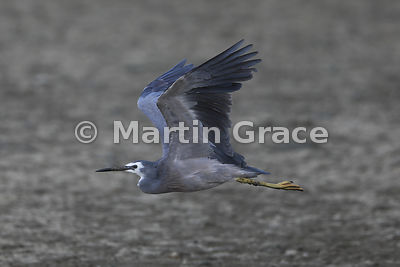 White-Faced Heron (Egretta novaehollandiae) in flight, Miranda, Firth of Thames, North Island, New Zealand