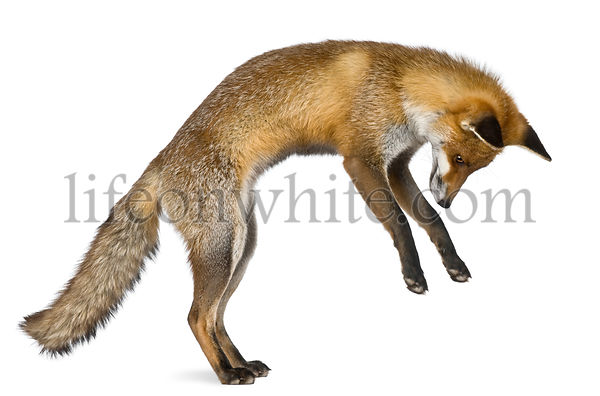 Side view of Red Fox, 1 year old, standing on hind legs in front of white background