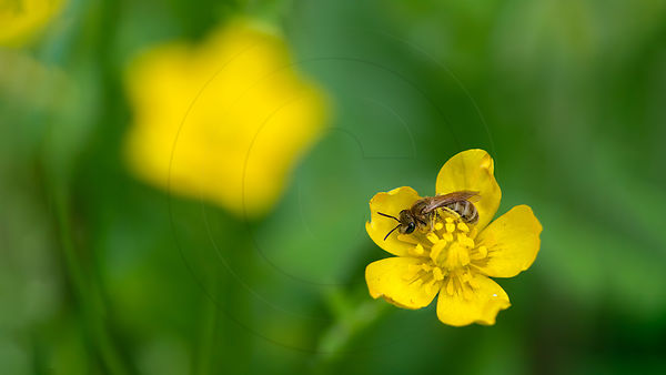 Abeille des sables - Solitary bee (Andrena sp)