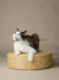 Cat looking up on while laying on wicker basket in studio