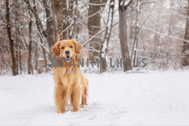Golden retriever standing in snow.