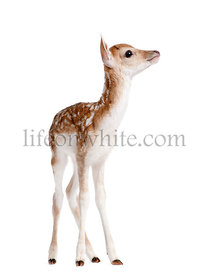 Side view of Fallow Deer Fawn, Dama dama, 5 days old