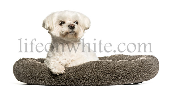 Maltese sitting in dog bed against white background
