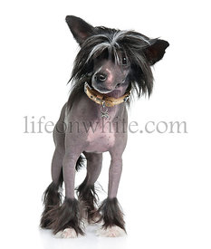 Chinese Crested Dog - Hairless (16 months)
