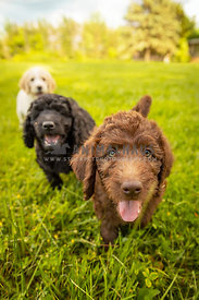 Chocolate, black and yellow labradoodle puppies running towards camera in grass.