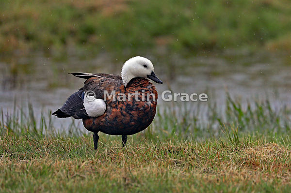Female Paradise Shelduck (Tadorna variegata) in heavy rain, Okarito, West Coast, South Island, New Zealand