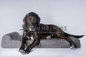 dark brown lab hound mix laying on gray dog bed staring into the camera