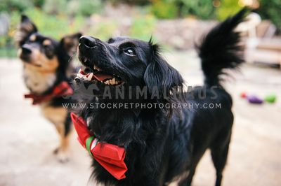 A close up of two dogs with bow ties standing outside