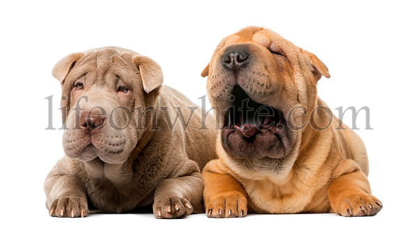 Two Shar pei puppies lying in front of a white background