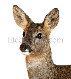 European Roe Deer, Capreolus capreolus, 3 years old, against white background