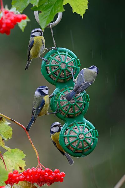 BasketBall feeder with blue tits autumn