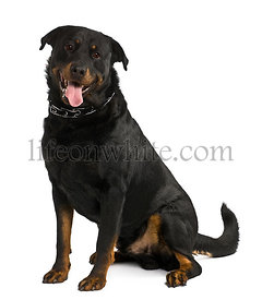 Beauceron dog, 4 years old, sitting in front of white background