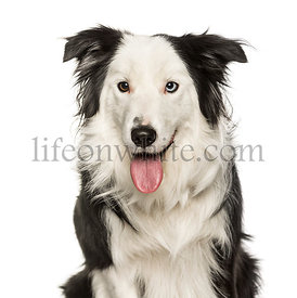 Border Collie against white background