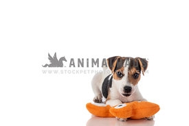 Jack Russel Terrier Puppy playing with orange plush toy on white background looking