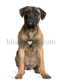 Bullmastiff puppy, 5 months old, sitting in front of white background