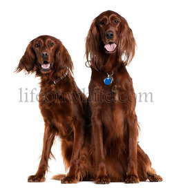Two Irish Setters sitting in front of white background