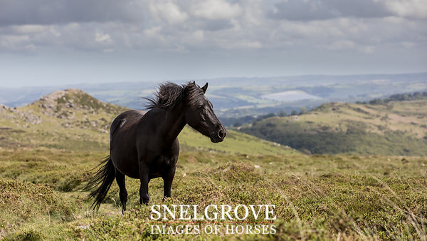 Dartmoor Mare - Sharp Tor