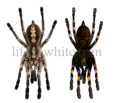 Tarantula spiders, Poecilotheria Metallica, in front of white background