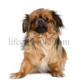 Tibetan spaniel, 4 years old, in front of white background