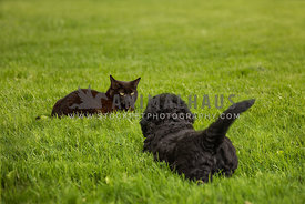 Black puppy playing with black cat in grass.