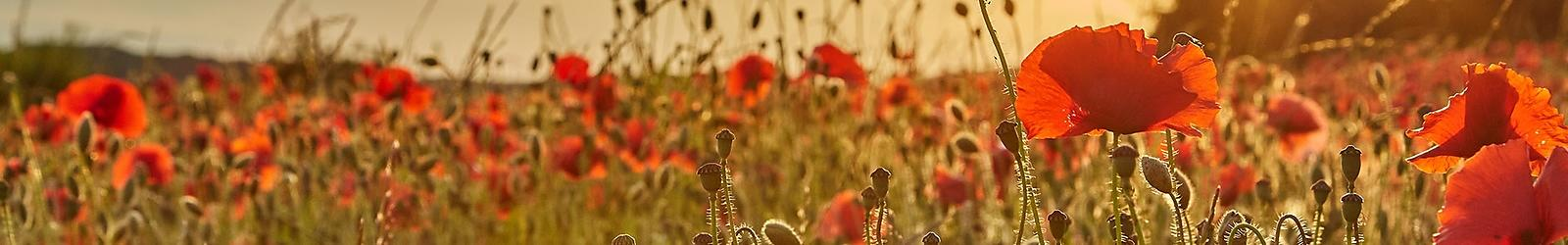 19-06-22_poppy_field_01074_LeeGillion