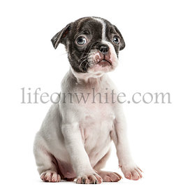 Boston terrier puppy sitting, isolated on white