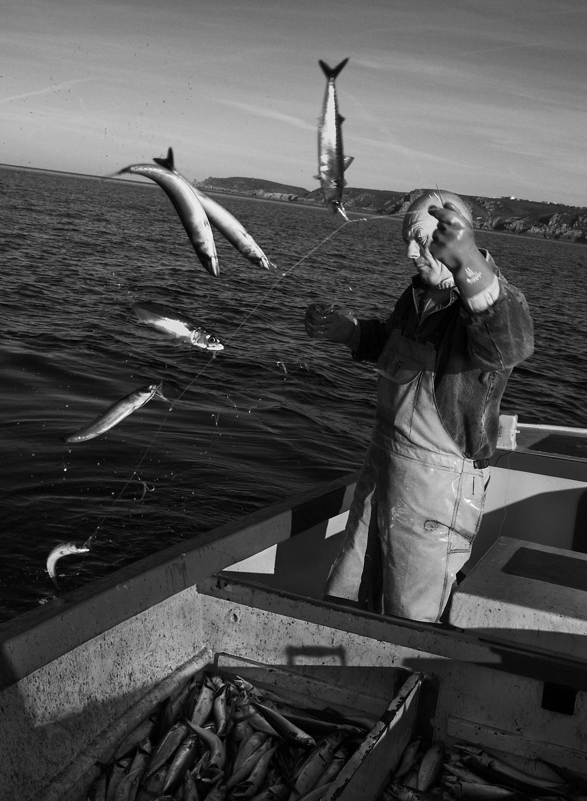 Joey Jeffery, handline fisherman, hauling in mackerel, working out of Newlyn, Cornwall, England.