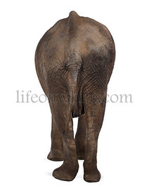 Rear view of an African elephant, isolated on white