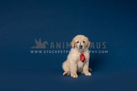 golden retriever puppy wearing red bow tie on dark blue backdrop