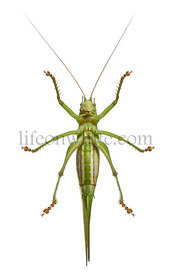 Great green bush-cricket, Tettigonia viridissima, in front of white background