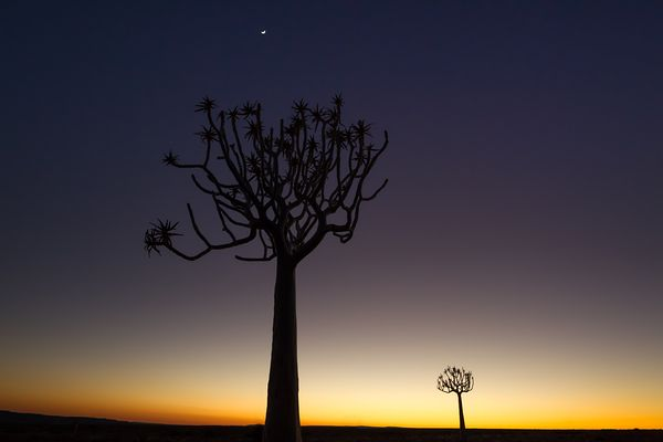 Early morning first light before sunrise and a little moon above quiver tree in southern Namibia near Fish River Canyon.