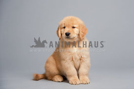 8 week old golden retriever puppy sitting on gray paper in studio