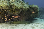 Grand-Cayman-Moray-Eel-_2014-05-06