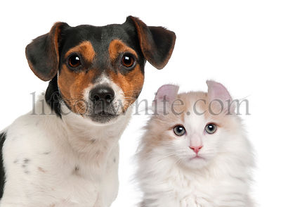 Jack Russell Terrier, 2 and a half years old and a American Curl kitten, 3 months old, in front of white background