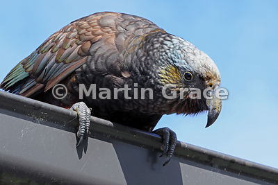 South Island & Stewart Island Kaka (Nestor meridionalis ssp meridionalis) leaning over a house gutter on the lookout for some...