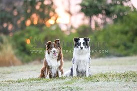 Two border collies in a park at sunrise