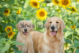 close up of golden retriever mom and puppy in sunflower field