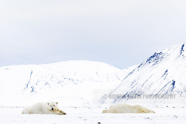 Two polar bears lying down with snow covered mountains in the back in Spitsbergen, Norway