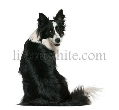 Border Collie, 16 months old, sitting