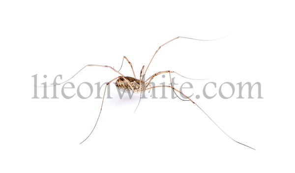 Opiliones spider in front of white background, studio shot