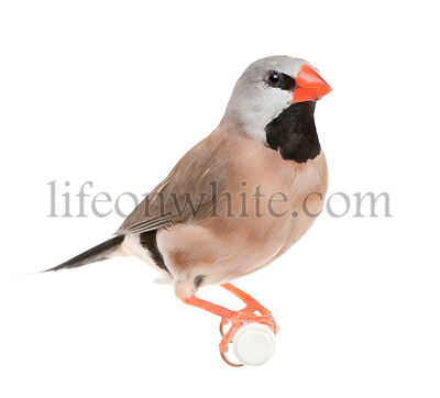Black-throated Finch - Poephila cincta