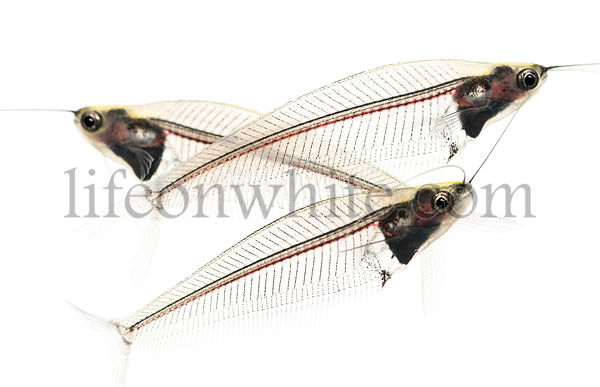 Side view of three Ghost catfish, Kryptopterus minor, isolated on white