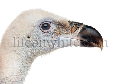 Close-up of a Griffon Vulture, Gyps fulvus, 61 days, isolated on white