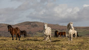 Dartmoor Ponies - Hameldown