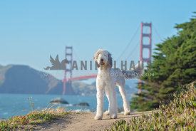 large sheepadoodle standing on dirt trail with Golden Gate Bridge in the background