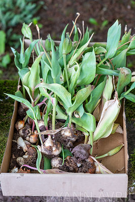 ulip Bulbs (Tulipa sp) unearthed after flowering for spring storage ∞ Bulbes de tulipes déterrés aprés la floraison, pour sto...