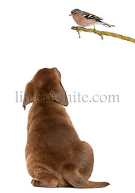 Labrador Retriever Puppy sitting and looking up at a Common Chaffinch perched on a branch, isolated on white